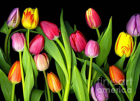 Tulips by Christian Slanec