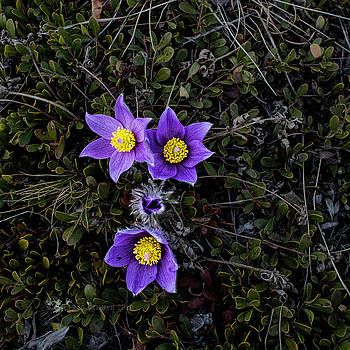 Pasque Flower by Fred Denner