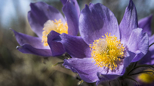 Ian Johnson - Pasque Flower