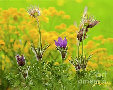 Pasque Flower by Jim Fillpot