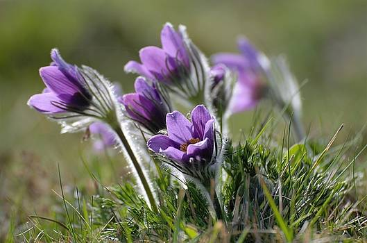 Pasqueflower by Renee Pettersson