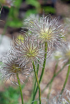 Pasqueflower Trio by Lisa Gabrius