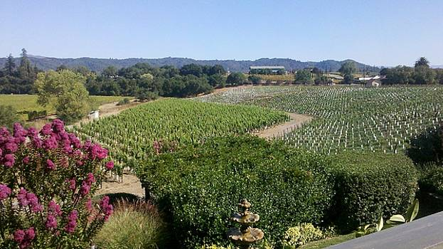 Passalacqua Vinyards at harvest by Shane Rockey