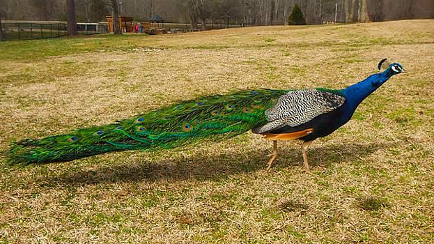 Passing Peacock II by Karen Roberson
