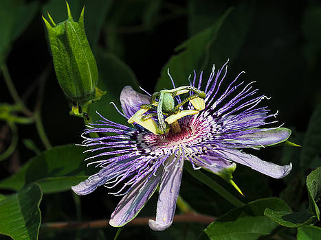Passion Flower by Paula Ponath