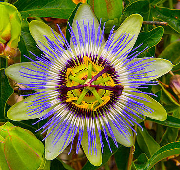 Passion Flower by Robert Brusca