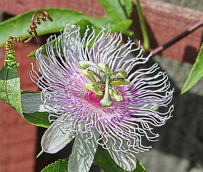 Passion Flower by Ronda Ryan
