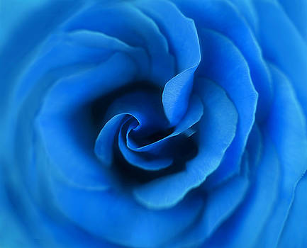 Passionate Blue Rose by Kay Kochenderfer