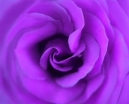 Passionate Purple Rose by Kay Kochenderfer