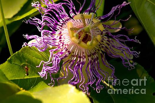 Robyn King - Passionflower