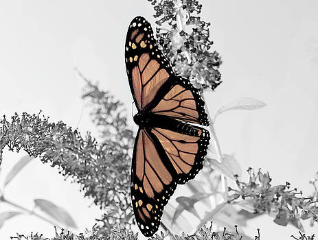 Pastel Monarch On Black And White by Lara Ellis