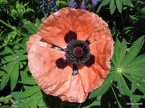 Pastel Poppy by David Hand