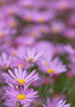 Patch of Daisys by Kathy Paynter