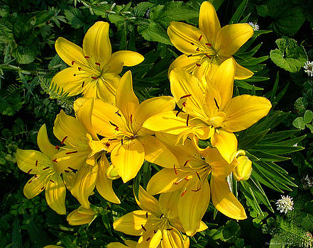 Sandra Huston - Patch of Yellow Lilies
