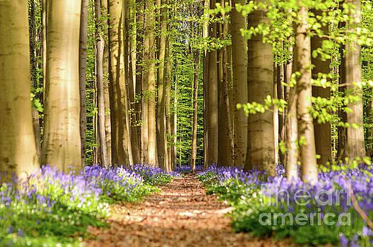 Path in the Woods, Hallerbos by Sinisa CIGLENECKI