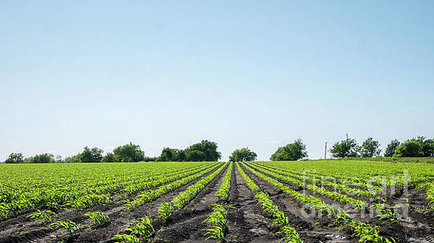 Pattern Formed By Vegetables in Field with Clear Skies by PorqueNo Studios