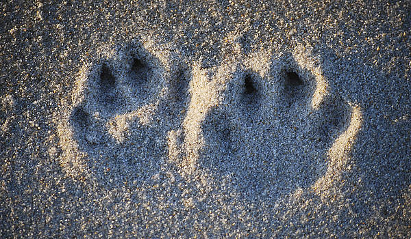 Paw Prints in the Sand by Peggie Strachan