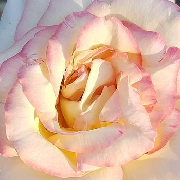Peace Rose 2015 by Amy Jo Garner