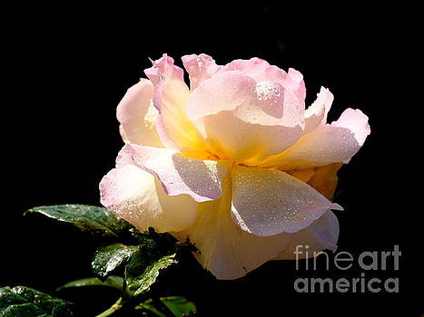 Peace Rose Inner Light 2 by John Chatterley