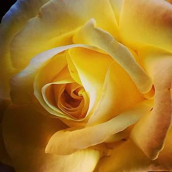 Peace Rose by Risa Bender