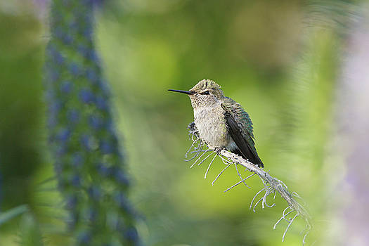 Peaceful Hummingbird by Susan Gary