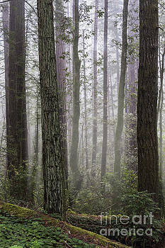 Sandra Bronstein - Peaceful Morning in the Redwoods