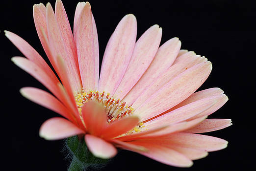 Reimar Gaertner - Peach African Daisy flower on dark background