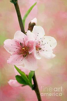 Peach Blossom 3 by Cindi Ressler