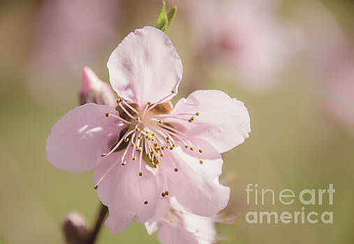 Peach Blossoms 10 by Andrea Anderegg