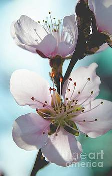 Peach Blossoms 11 by Andrea Anderegg