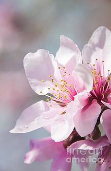 Peach Blossoms 12 by Andrea Anderegg