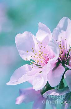 Peach Blossoms 13 by Andrea Anderegg