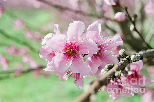 Peach Blossoms 15 by Andrea Anderegg