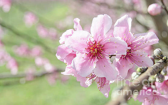 Peach Blossoms 2 by Andrea Anderegg