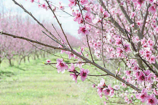 Peach Blossoms 3 by Andrea Anderegg