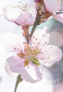 Peach Blossoms 4 by Andrea Anderegg