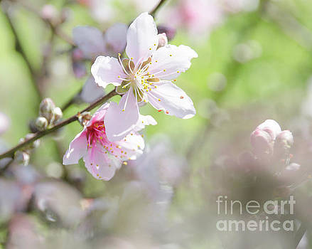 Peach Blossoms 6 by Andrea Anderegg