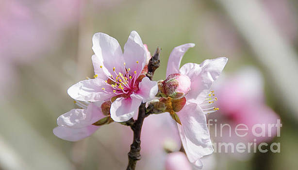 Peach Blossoms 7 by Andrea Anderegg
