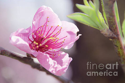 Peach Blossoms 8 by Andrea Anderegg