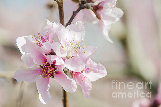Peach Blossoms 9 by Andrea Anderegg