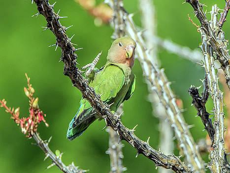 Tam Ryan - Peach-faced Love Bird
