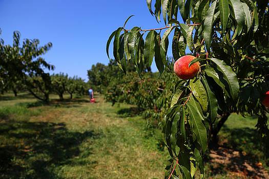 Karol Livote - Peach Grove