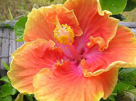 Peach Hibiscus by Heather Bethke