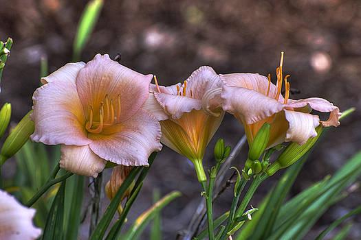 Peach Lillies by David Clark