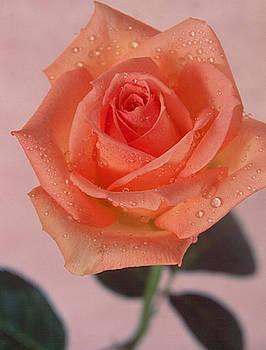 Peach of a Rose by Jennifer Ferrier
