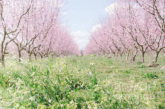Peach Orchard 4 by Andrea Anderegg
