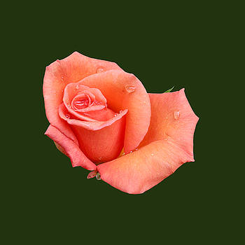 Bamalam Photography - Peach Rose