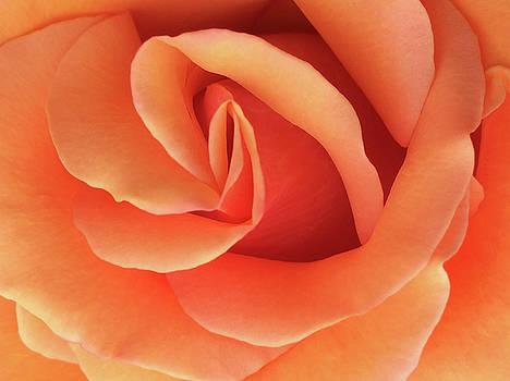 Peach Rose by Jacklyn Duryea Fraizer