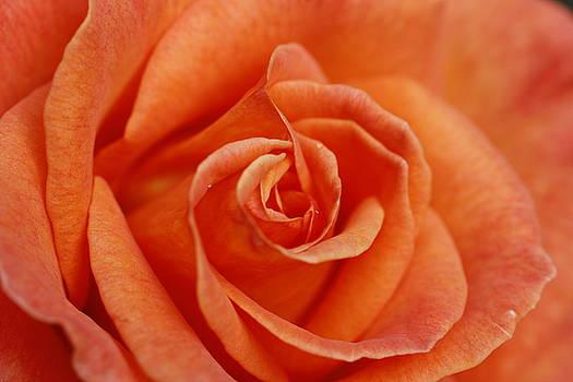 Martina Fagan - Peach Rose