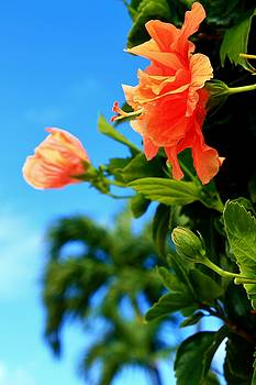 Peachy Orange Hibiscus by Catie Canetti
